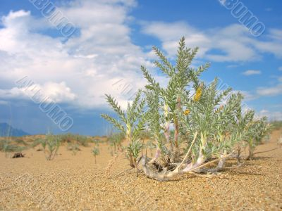 Lonely desert plant