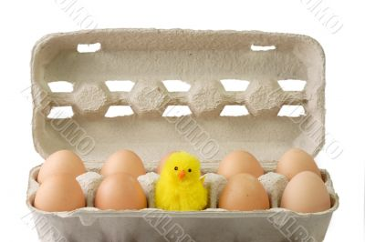 Chick between brown eggs