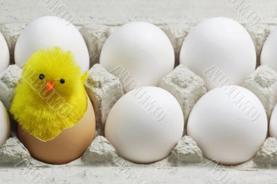 Chick Between White Eggs