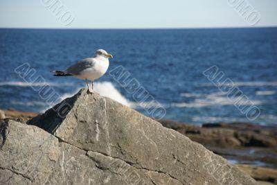 Herring gull, on granite boulder