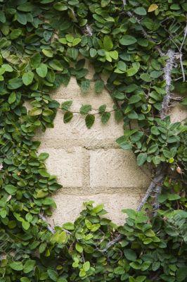 Ivy on bricks