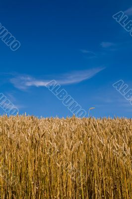 Wheat field and blue skies.