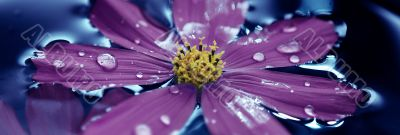 Violet flover in water