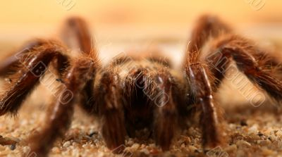 Big Bird Spider, Avicularia spec.