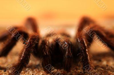 Big Bird Spider, Avicularia spec.