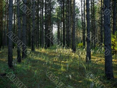 trees rows