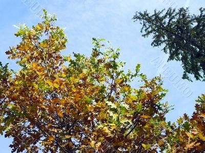 oak and fur-tree