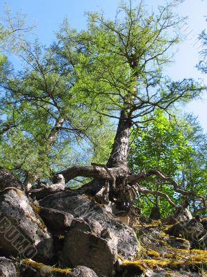 Pine-tree on rocky cliff