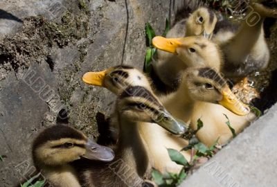 many small ducklings