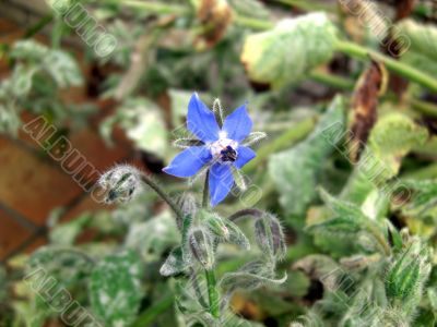 borage blossom - spice plant