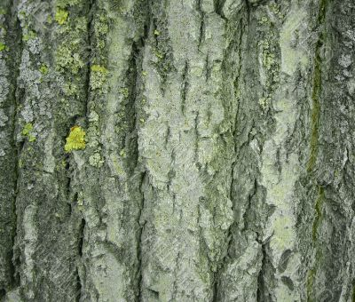 Texture - a bark of an old tree