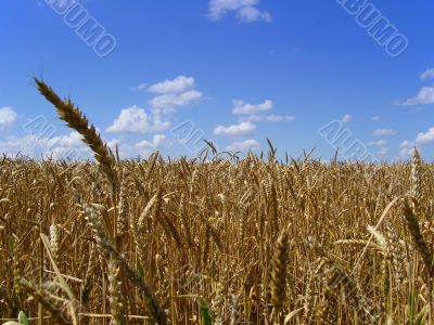 Field of wheat in middle Russia, summer