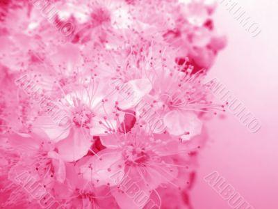 Rosy flower