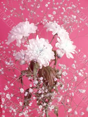 White flowers on rosy