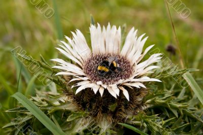 Bumble bee on the prickle flower