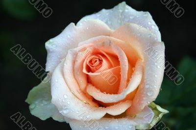 separate rose