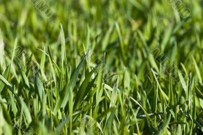 New green grass