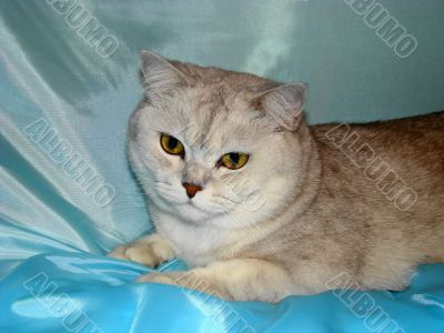 Cat Lolita Grace