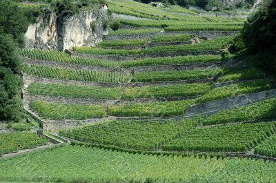 Switzerland - Vineyard