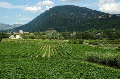 Vineyard of Provence - France