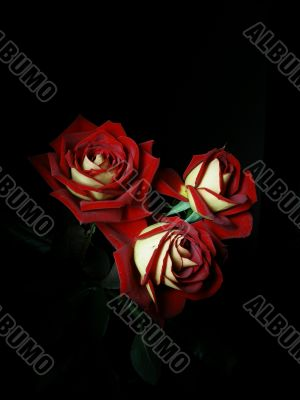 Three Rosa flowers  on a black background
