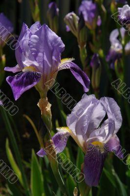 excellent Iris flower