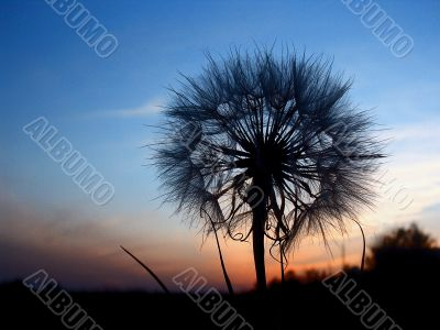 unusual view of dandelion