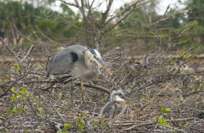 Blue heron mother and chick