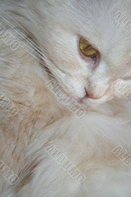 fluffy Persian white cat