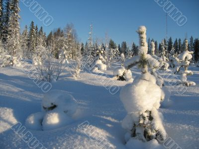a small spruce tree in the winter forest