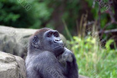 Glamor Gorilla