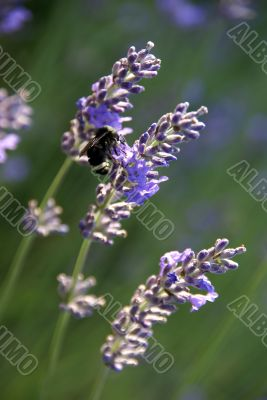Bumblebee collecting pollen from lavender