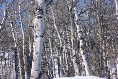 Winter: bare aspens