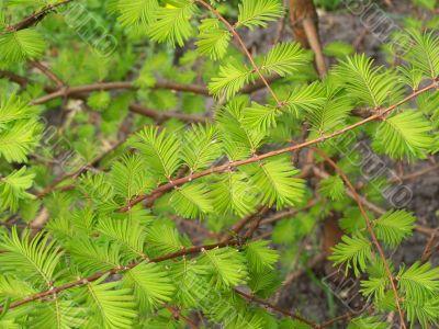 Spring acacia