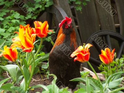 The cock and the tulips