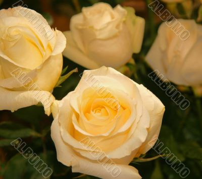 Greater roses yellow