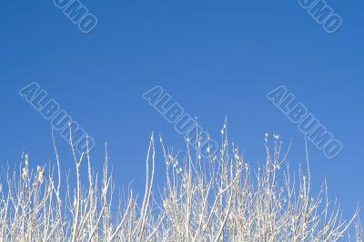 Birches 12