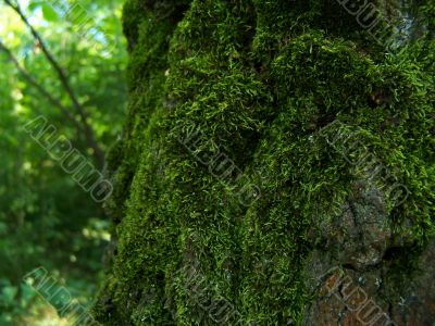Moss-grown tree.