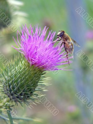 dronefly on thistle blossom