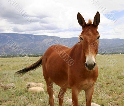 Colorado pony in pasture