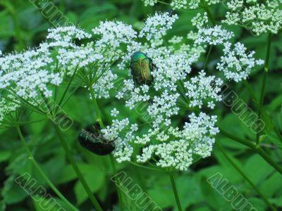 two beetles