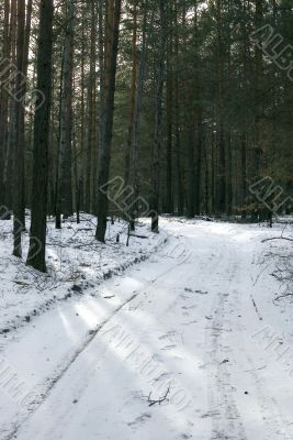 winter forest pierced with rays of sunlight