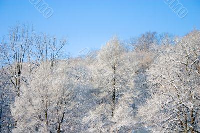 Tree Tops in Winter