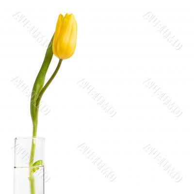 Tulip in glass of water