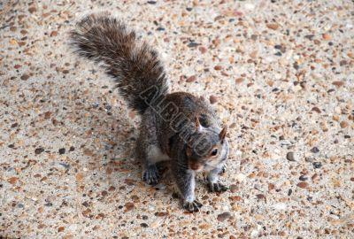 Trust.  Squirrel on sidewalk.