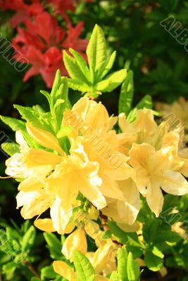 close-up of yellow fragrant rhododendrons