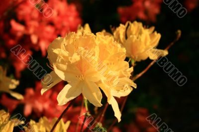 tender yellow flowers of rhododendron