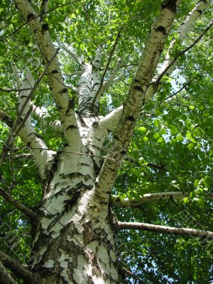 stem of the birch with young sheet