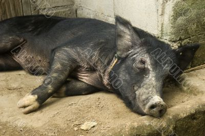 Black Pig Resting