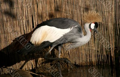 Gray crown crane